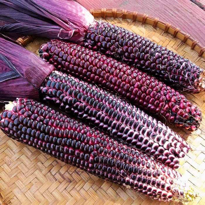 Great benefit of purple sweet corn